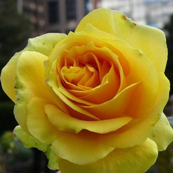 жълта роза