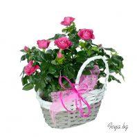 Чаени рози