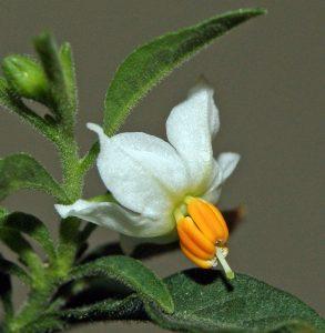 Wikimedia Common Solanum