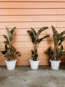 banana-trees-flowerpot-growth-1830933