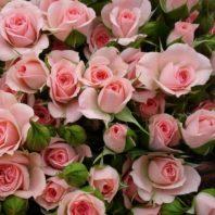 Спрей рози