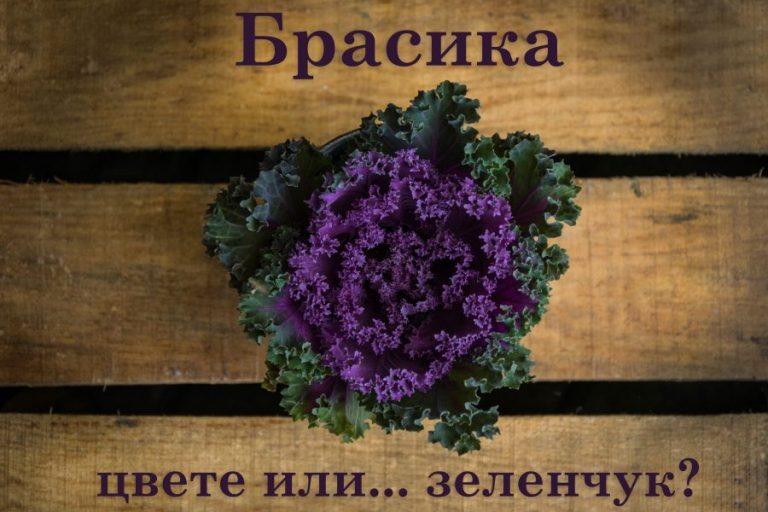 Брасика: цвете или зеленчук